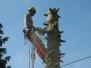 Baumfällung in Seilklettertechnik